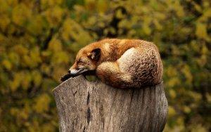 fox relaxing on tree stub